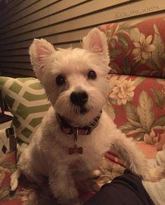 The best way to end a summer night is rocking on the swing with mom! #summer #summernights #mamasboy #dog #dogsofinstagram #dogs #dogstagram #doglover #dogoftheday #doggy #doglovers #dogslife #doglife #westie #westiegram #westiesofinstagram #westies #westielove #westiemoments #westiesarethebest #westiepuppy #westielover #westietude #westielife #ilovemydog #ilovemylife #instadog #instagramdogs #puppy #puppylove