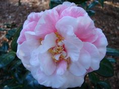 Camellia japonica 'Georgia National Fair Blush' (U.S., 2003)
