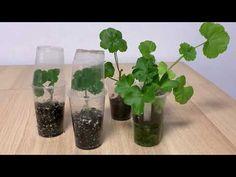 Regenerarea muscatei si inradacinarea butasilor rezultati . #leggy,#pelargonium - YouTube Glass Vase, The Creator, Flowers, Gardening, Balcony, Youtube, Interiors, Agriculture, Plants