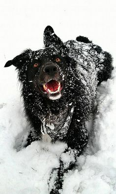 Another photo of a BIG dog in their Winter Wonderland for our Pretty BIG Dog Photography Competition http://www.mybigdog.co.uk/Info/useful-links/competitions/pretty-big-dogs-photography-competitions/