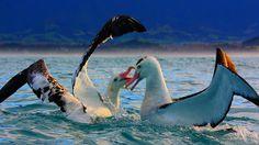 #Wandering #Albatross, #Kaikoura, New Zealand by Amanda Stadther. http://amanda-stadther.artistwebsites.com/