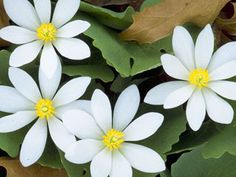 Sanguinaria canadensis: Bloodroot - For moist sites with good drainage with shade to part shade. Spreads rapidly, so it makes a good ground cover for woodlands. Natives used the roots to make a red dye. Woodland Plants, Woodland Garden, Shade Garden, Garden Plants, Wholesale Plants, Red Maple Tree, Seed Bank, Shade Plants, Medicinal Plants
