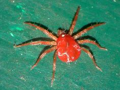 Red Spider Mite: These pests are tiny, they are red in the winter see photo to the left, and green in the summer, they live on the underside of tomato leaves you can tell that their present as a fine silky webbing will have developed over the leaves and stems. http://tomatogrowingexpert.com/tomato-problems-and-pests