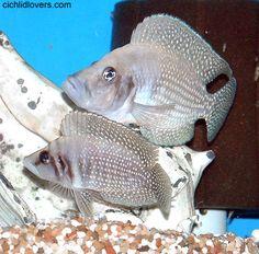 Лампрологус-бабочка, Жемчужный Лампрологус. Взрослые самки редко достигают размера 10 см, самцы до 15 см.