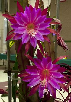 Epiphyllum Dragon Serpent.  Epiphytic cacti are usually grown as houseplants.  A little tricky to water as too much is bad but nor must they be allowed to dry out.  More on care here: http://www.gardeningknowhow.com/ornamental/cacti-succulents/epiphyllum/epiphyllum-plant-care.htm