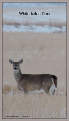 White-tailed Deer, Southeast Saskatchewan, March 2018. Credit: Nelson Draper Canadian Wildlife, Deer, March, Blog, Photos, Animals, Image, Pictures, Animales