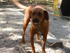 Loretta is an adoptable Hound Dog in Hawthorne, FL. Please contact Sherry ( adorableoptions@thedoghousemail.com ), (386) 684-6283, (352) 546-3811 for more information about this pet. With an approved ...