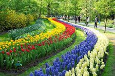 KEUKENHOFF Y HAARLEM (HOLANDA)  En los jardines de Keukenhoff, en Lisse, Holanda, florecen cada año entre mediados de marzo y mediados de mayo más de cuatro millones de tulipanes de un centenar de variedades diferentes, junto a otras especies bulbosas como los jacintos y los narcisos.