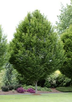 Pyramidal European Hornbeam -- An attractive, columnar tree with dense branches when young, spreading into a broad cone shape with age. Clean looking dark green foliage turns yellow-orange in fall. Great for screens and street trees.