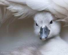 """beautiful-wildlife: """" Swan by Stefano Ronchi """" A selection of bird photos Beautiful Swan, Beautiful Birds, Animals Beautiful, Animals And Pets, Baby Animals, Cute Animals, Baby Swan, Photo Animaliere, Tier Fotos"""