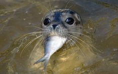 In der Seehund-Aufzuchtstation Friedrichskoog in Schleswig-Holstein werden die...