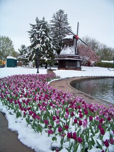Pella, Iowa--May 2013 The first time it ever snowed for the Tulip Time Festival.only in Iowa! Great Places, Places To See, Pella Iowa, Beautiful Flowers, Beautiful Places, Tulip Festival, Plant Illustration, Le Moulin, Nature Photography