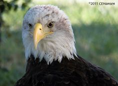 Thora was a very sick bird due to lead poisoning. Therapy saved her life but not her sight and joined the education birds in 2011.