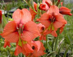 Gladiolus species - Gladiolus alatus