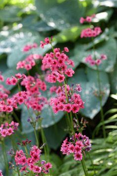 Japanese Primrose • Primula japonica • Plants & Flowers • 99Roots.com