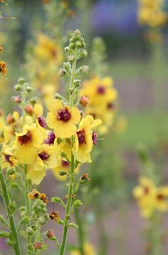 Verbascum (Cotswold Group) 'Cotswold Queen' | /RHS Gardening