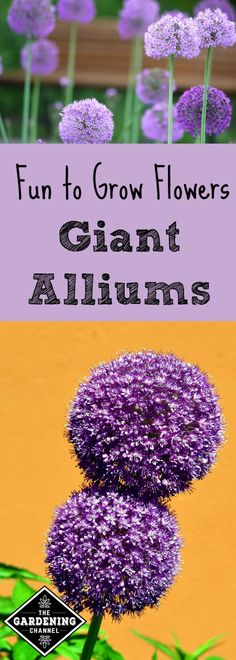 To add a delightful touch of whimsy to your flower garden this season, how about planting and growing giant alliums? Giant Alliums are a diverse ornamentals for your garden that seem to appear straight out of a Dr. Seuss book!