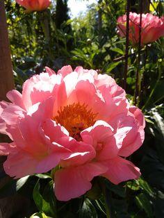 Peony Pionit #CoralCharm Garden Design, Rose, Flowers, Plants, Pink, Roses, Florals, Landscape Designs, Plant