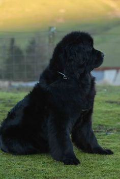 Newfoundland dogs:) our potential litter is one week old:) we will know in the next few weeks if we will be approved to get our new addition :)