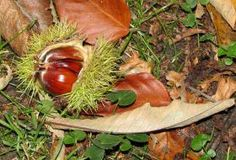 Foraging for sweet chestnuts is a fun family activity. Look for a large tree with spikey round cases. Can be used in lots of recipes like mont blanc or roasted Dandelion Recipes, Sweet Chestnut, Wild Garlic, Garlic Recipes, Wild Edibles, Fall Treats, Growing Vegetables, Healthy Kids, No Cook Meals