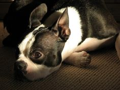 Image detail for -Cute Boston Terrier Puppy Photo | Boston Terrier Dogs