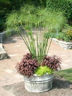your traditional outdoor (perhaps indoor too) container a whole different look with this fun looking tall grass: Papyrus! I like the idea of none blooming container gardening too.a must have for my front porch this year. Bog Plants, Live Plants, Potted Plants, Container Plants, Container Gardening, Vegetable Gardening, Outdoor Plants, Outdoor Gardens, Small Gardens