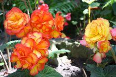 Orange-red tuberous begonias look like giant roses