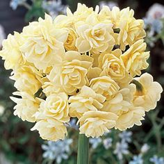 """Spring Cheer™ Daffodil Form Perennial Hardiness Zone 3-8 Flowering Time Early - Mid Spring Light Requirements Full Sun;Half Sun / Half Shade Flower Color Ivory white with a sligth yellow trace Flower Form Multiple doube flowers Foliage Type Long, narrow gray-green leaves. Growth Rate Medium Zones 3 to 8 Height/Habit 10-12"""" Spread 4 - 6"""" Planting Instructions 6"""" deep and 4 - 6"""" apart"""