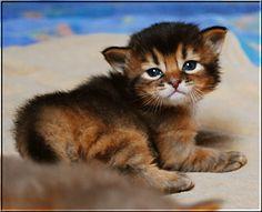 Somali cat breeder | Somali Cat Breeders Canada