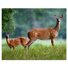 A doe and her fawn stand alert in a field just south of the Clayton Lueck farm.