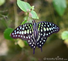 green-spotted-butterfly