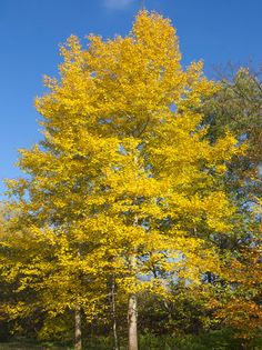 Quaking Aspen Trees for Sale | Fast Growing Trees
