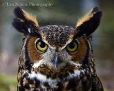 Source: Flickr / jlyn_nature  #great horned owl