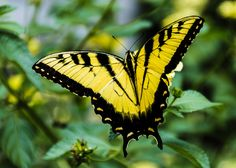 https://flic.kr/p/CgpWrz | Giant Swallowtail Butterfly | This capture was in the Blue Ridge Mountains of Virginia.