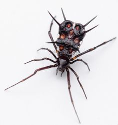 Cool Insects, Bugs And Insects, Pet Spider, Beautiful Bugs, Weird Creatures, Love Bugs, Spiders, Bats, Biology