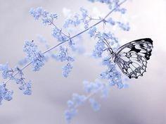 Glass wing butterfly on delicate blue winter flower