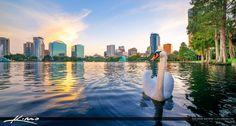 Swan at Lake Eola Park Orlando Florida Cityscape
