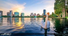 Swan at Lake Eola Park Orlando Florida Cityscape
