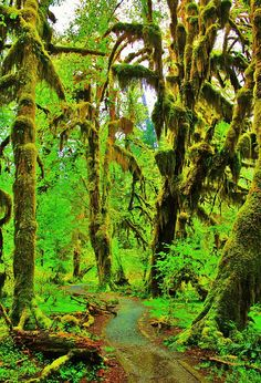 The Hall of Mosses Trail is a famous hiking trail in Olympic National Park. It is located in the Hoh Rain Forest on the Olympic Peninsula in the west of Washington state, USA. (wikipedia) // photo by Benjamin Yeager