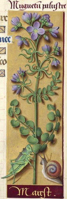 Marest - Muguetum palustre (Cardamine pratensis L. = cressonnette) -- Grandes Heures d'Anne de Bretagne, BNF, Ms Latin 9474, 1503-1508, f°158r