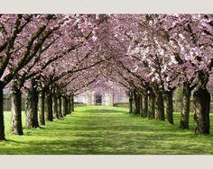 Fotobehang 036541 /Pink blossom parkway ASCreation