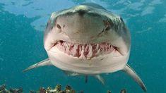 Sand Tiger Shark!  :)