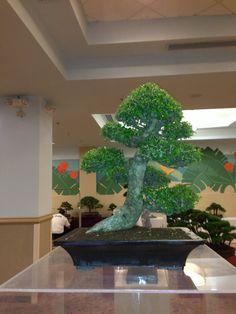 2nd USDA APHIS Bonsai Expo - Bonsai en el Tropico