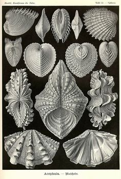 Ernst Haeckel Cytherea Clam Shell Art Print Vintage Lithograph Beach House Home Office Decor Sea Life Shells Molluscs Bivalves Art Prints, Shell Art, Scientific Illustration, Natural Form Art, Art Forms, Nature Art, Painting, Art, Abstract