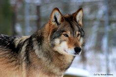 Wolf Images, Wolf Photos, Wolf Pictures, Beautiful Wolves, Animals Beautiful, Wolf Sounds, Wolf Name, Animals And Pets, Cute Animals