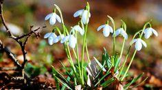 Wallpaper Frühling - Schneeglöckchen