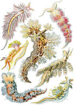 Haeckel Nudibranchia - Kunstformen der Natur - Wikipedia, la enciclopedia libre