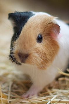 Guinea pig. This reminds me of a guinea pig I had once. Her name was Elsie.