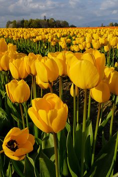 <3 Yellow Tulip Field by mstoy, via Flickr