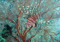 Lionfish in Sea fan at Dinding Rene | Flickr - Photo Sharing!